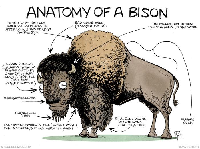Water buffalo anatomy