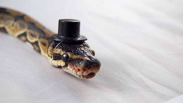 Snakes Wearing Tiny Hats