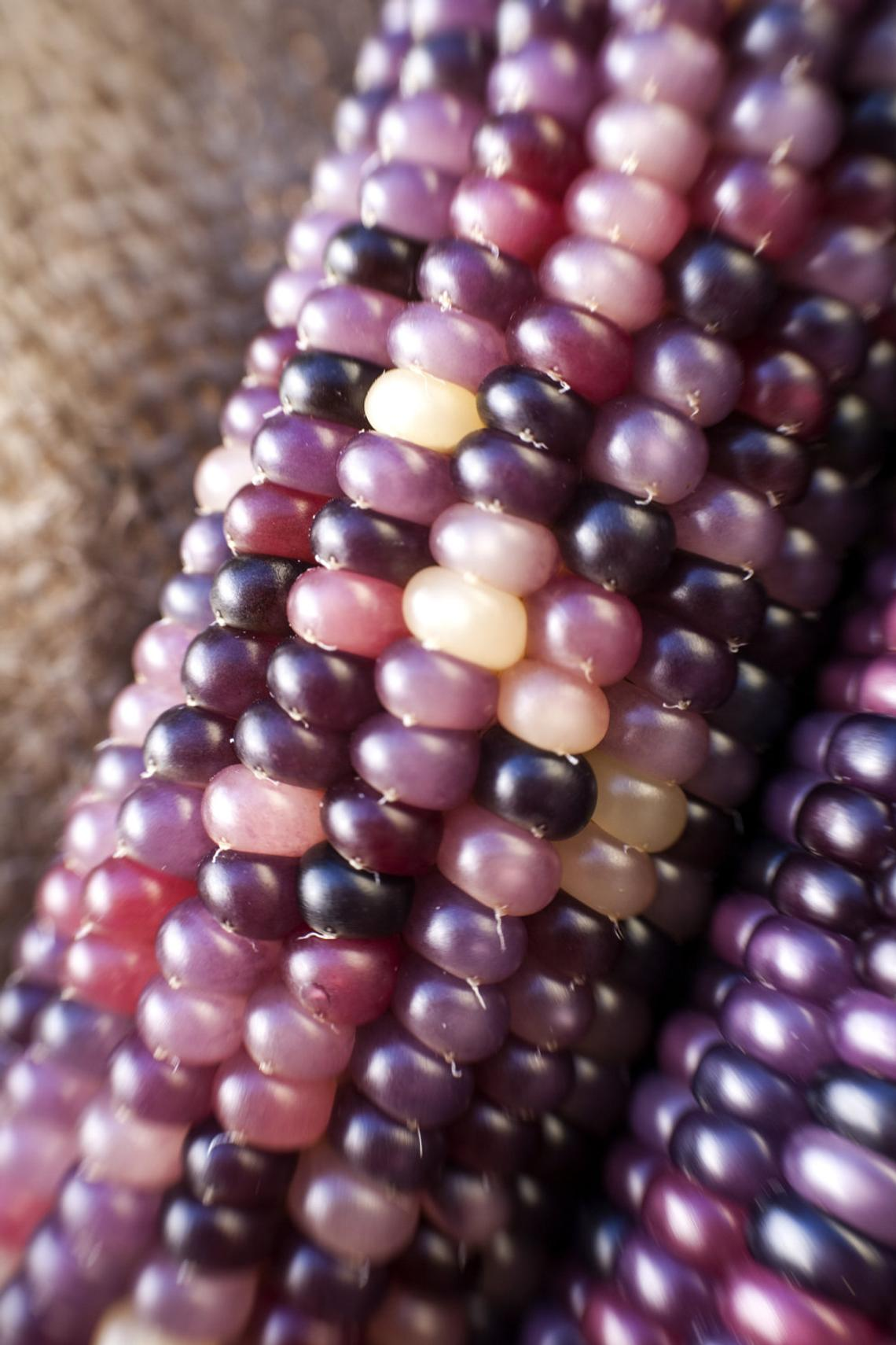 Glass Gem Cherokee Indian Corn Heirloom Seeds